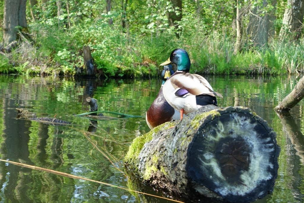 Enten auf dem Weg Richtung Wustrow mit dem Kajak