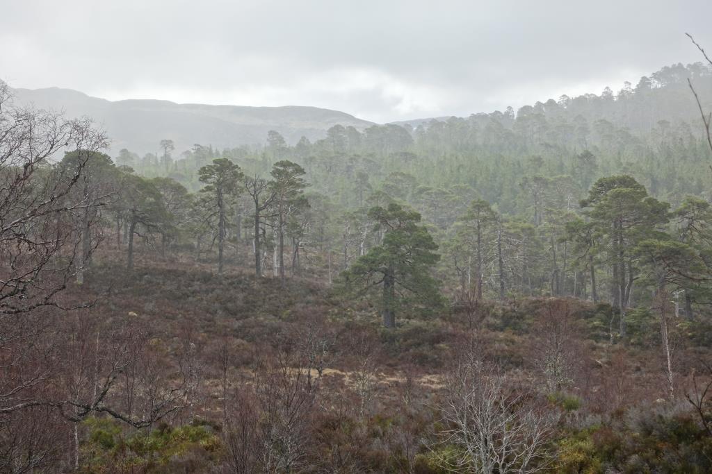 Bild vom Wald im Glen Affric.